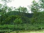 Tea garden in Srimangal