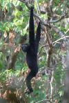 Gibbon hullock