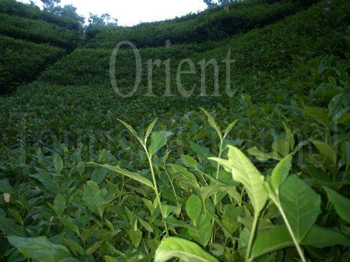 tea garden in Sylhet